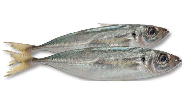 Trachurus capensis - 47