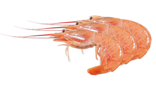 Pleoticus muelleri - 87